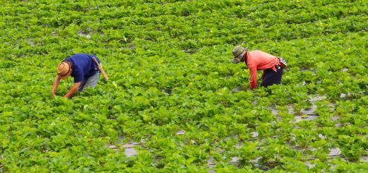 Strawberries Top 2016 Dirty Dozen List