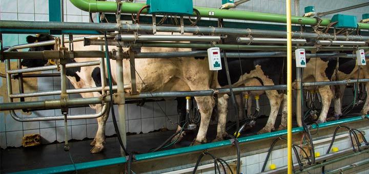 milking-cows